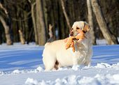 Yellow Labrador In Winter With An Orange Toy