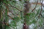 picture of pine-needle  - Rain drops on pine needles remaining winter - JPG