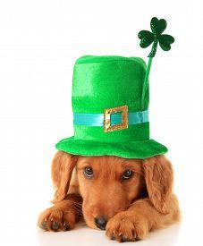 image of irish  - An Irish setter puppy wearing a Saint Patrick day hat - JPG