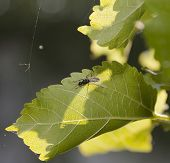 stock photo of uterus  - Uterus ant is staying on the overleaf of spring green leaf mulberry on backlit sunlight - JPG