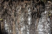 picture of climber plant  - ancient limestone wall covered with climber plants - JPG