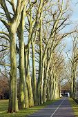 image of tree lined street  - Road through platanus tree alley in Berlin - JPG