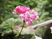 image of geranium  - Pink geranium flowers  in the home garden - JPG