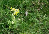 stock photo of cowslip  - Yellow primrose in green grass full frame - JPG