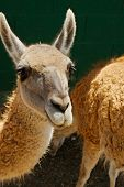 pic of lamas  - Picture of small lama with orange fur - JPG