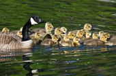 picture of mother goose  - Adorable Little Goslings Swimming with Along with Mom