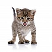 stock photo of mew  - The striped amusing mewing kitten on a white background - JPG
