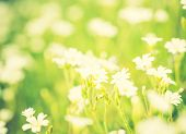 image of musky  - Vintage photo of blooming white flowers of chickweed in green grass - JPG