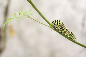 stock photo of transformation  - Papilio machaon butterfly larvae eating Ruta chalepensis plant.its the first transformation stage of The Old World Swallowtail a butterfly of the family Papilionidae. ** Note: Visible grain at 100%, best at smaller sizes - JPG