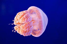 image of jellyfish  - A pink jellyfish swimming in an aquarium - JPG