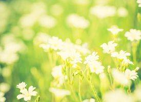 stock photo of musky  - Vintage photo of blooming white flowers of chickweed in green grass - JPG