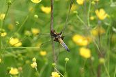 stock photo of broad-bodied  - broad bodied chaser resting between yellow buttercup flowers - JPG