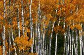 Aspen Grove Orange