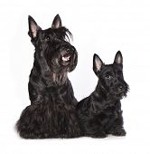 Постер, плакат: Scotch Terrier bitch and puppy