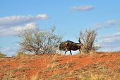 Постер, плакат: Big Animal In The Nature Habitat Namibia Kalahari Desert
