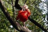 foto of scarlet ibis  - scarlet ibis - JPG