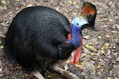 Cassowary flightless bird