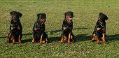 Four Rottweiler