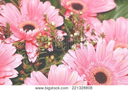 poster of Gerbera pink floral spring gerberajamesonii botany love