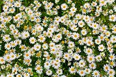 camomile or ox-eye daisy meadow top view background