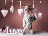 Cute Jack Russell Terrier. Valentines Day poster
