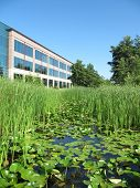Lilly Pads and Cattails of restored wetland against office building