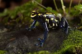 image of poison arrow frog  - frog with bright yellow colors - JPG