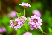pink lantana are bloom