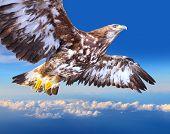 Golden eagle soaring over a clouds. poster