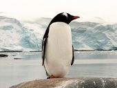 Big Gentoo Penguin In Antactica