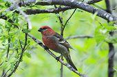 a red grosbeak in Alaska