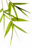 picture of bamboo leaves  - branches with green bamboo leafs isolated on white - JPG