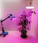Growing Seedlings At Home And Pink Led Phyto-lighting Lamps For Plants. Growing Vegetables Using Led poster