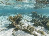 Critically Endangered Elkhorn Coral On Coral Reef Off Bonaire, Dutch Caribbean poster