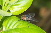 Tachinid fly extreme close-up /