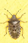 Rhaphigaster nebulosa / European stink bug extrem close-up