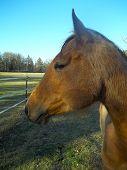 buckskin mare horse