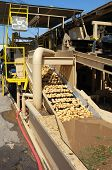 stock photo of solanum tuberosum  - Potatoes are moved along a conveyor belt where they are washed at a Central California packing plant - JPG