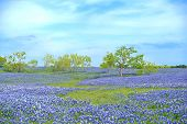 Field of Texas Bluebonnets with blue sky and trees