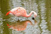 Chilean Flamingo