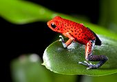 frog red strawberry poison dart frog on border of panama and costa Rica poisonous animal of tropical
