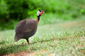 stock photo of guinea fowl  - Wild guinea fowl outdoors with blurred forest background - JPG