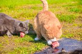 Feeding Domestic Cats. A Lot Of Cats. Clean, Well-groomed Cats Eat On The Grass. Pets. poster