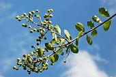 Pod Peas Plant on a Blue Sky