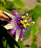Passion Flower Medicinal Plant