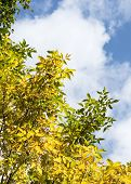 Autumn Foliage. Trees With Yellow Foliage. Blue Skies, White Clouds And Sunny Weather. September poster