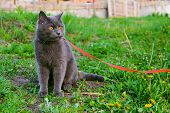 Young British Blue Shorthair Cat In Harness On A Summer Walk. Beautiful Purebred Gray Cat Sitting On poster