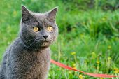Young British Blue Shorthair Cat In Harness On A Summer Walk. Portrait Of Beautiful Purebred Gray Ca poster