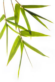 image of bamboo leaves  - branches with green bamboo leafs isolated on white - JPG