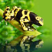 The poison dart frog Dendrobates leucomelas in a rainforest.